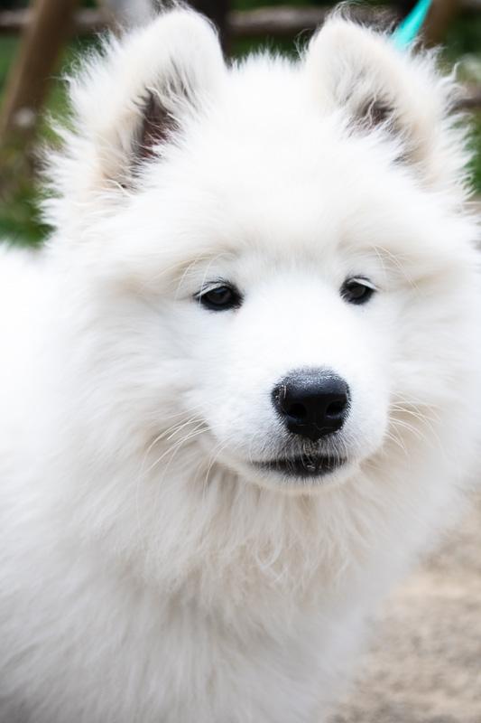 Myra, my Samoyed puppy
