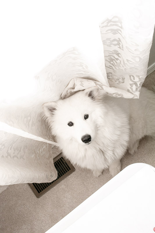 Myra the Samoyed dog, helping me with food pictures